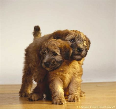 cute cuts for wheaten terriers 198 best images about wheaten terriers on pinterest dog