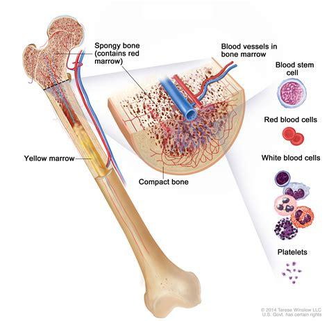 bone cross section diagram bone cancer patient version national cancer institute