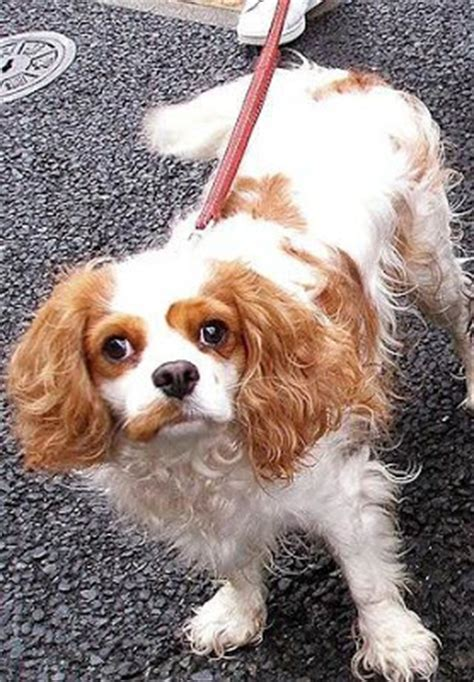 st charles puppy cavalier king charles spaniel the retriever wildlife breeds picture