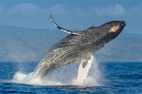 images of a whale the plan to save the humpback whales and how it succeeded