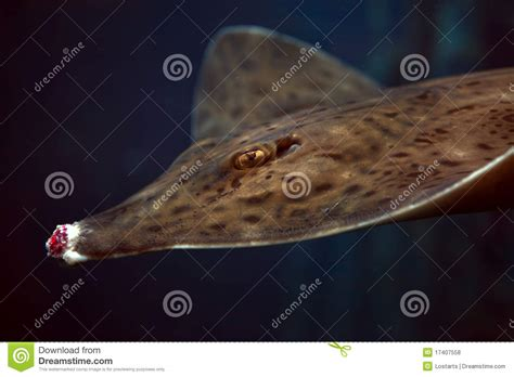 Barn Door Skate Barndoor Skate Fish Stock Photo Image Of Gamefish Atlantic 17407558