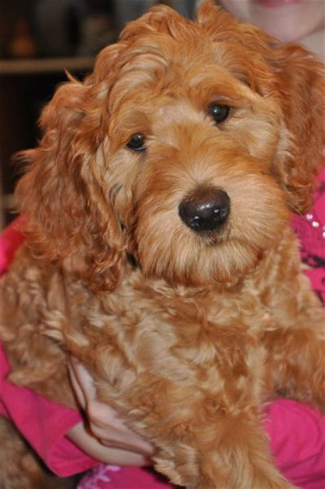 australian labradoodle colors labradoodles of the