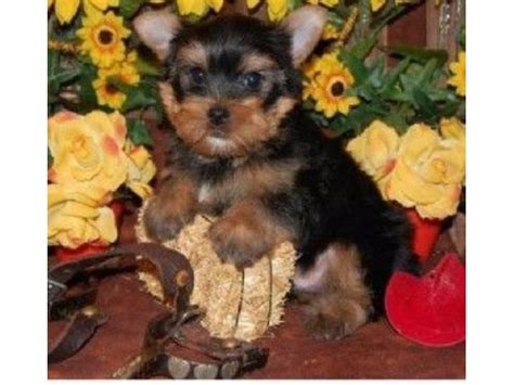 yorkie puppies for sale in sc and yorkie puppies for sale animals cowpens south carolina