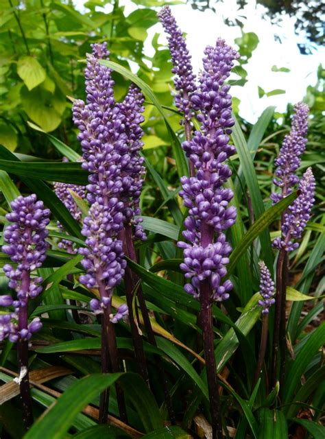 plant with purple flowers plants with purple flowers names pictures to pin on