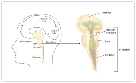 brain stem diagram 3 2 our brains our thoughts feelings and