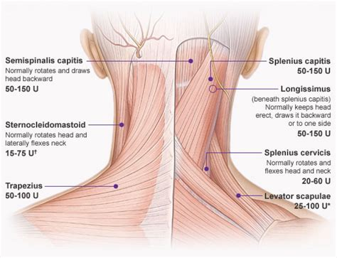 diagram of muscles in the neck back neck muscles anatomy human anatomy diagram
