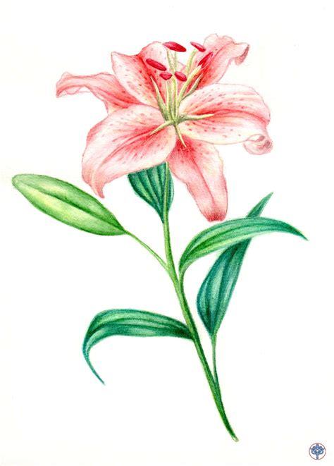 fiore giglio giglio fiore disegno 28 images libro da colorare