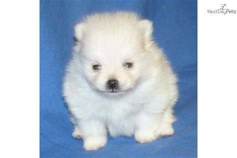 akc teacup pomeranian puppies for sale pin akc pomeranian puppies for sale in south shore missouri classifieds on