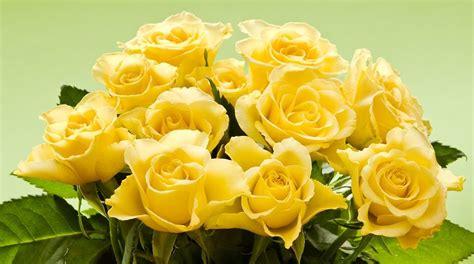 imagenes de flores rosas amarillas rosas amarillas hd im 225 genes y fotos
