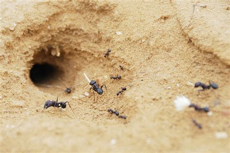 ant nest in house common locations for ant nests howstuffworks