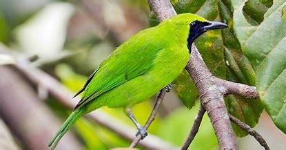 Burung Lovebird Hs 4 tahapan cara merawat cucak ijo untuk lomba