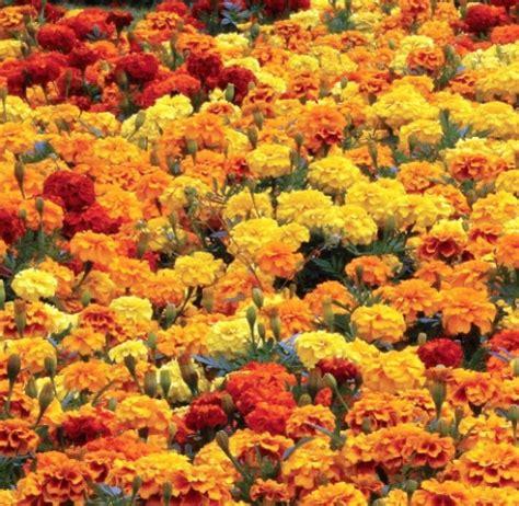 Tanaman Marigold Orange benih marigold boy o boy mixed 6 biji non retail