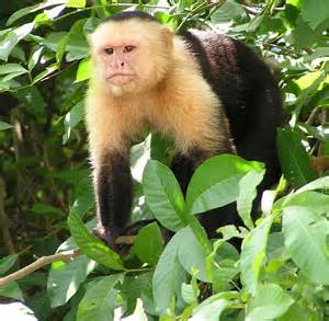 baby le capuchin monkey