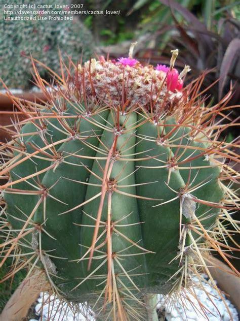 Melocactus Ernestii plantfiles pictures melocactus melocactus ernestii by cactus lover