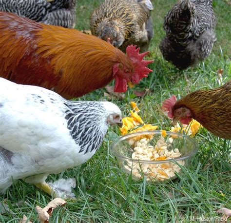 feeding backyard chickens take preventative measures to keep your chickens worm free