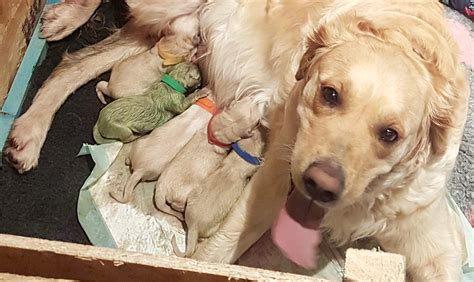 green golden retriever puppy golden retriever gives birth to beautifully green puppy sick chirpse