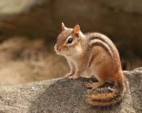 chipmunk pictures free chipmunks images chipmunks hd wallpaper and background