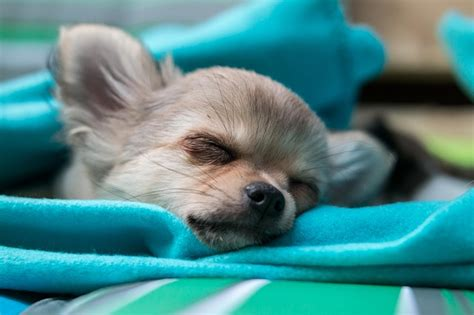 puppy sleeps all the time free photo chihuahua puppy baby sleep free image on pixabay 809589
