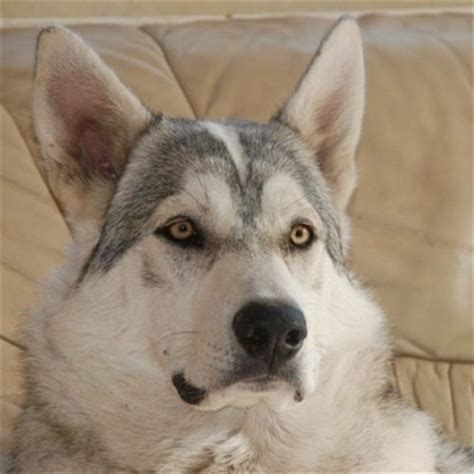 northern inuit puppies northern inuit breed information and pictures