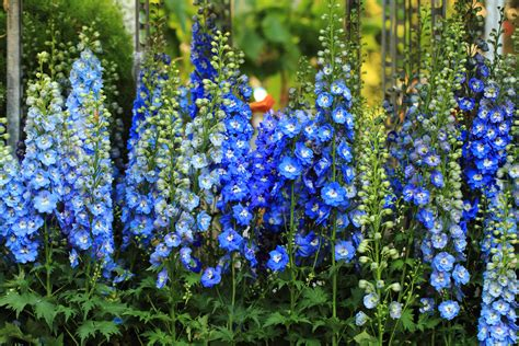 Balkon Sichtschutz Blumen by Blumen Als Sichtschutz 187 Pflanzenauswahl Pflanztipps Und Mehr