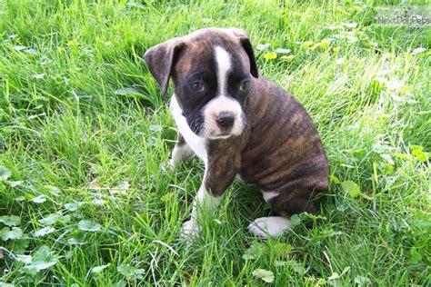 boxer puppies for sale in akron ohio boxer puppy for sale near akron canton ohio dd82e3fa f511