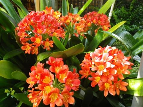 clivea miniata an easy care flowering houseplant hubpages clivia landsdale plants
