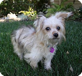 maltese yorkie mix rescue maltese yorkie terrier mix breeds picture