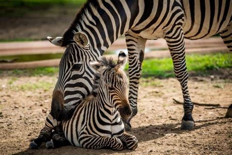 Baby Zebra como zoo baby zebra named in honor of longtime volunteer