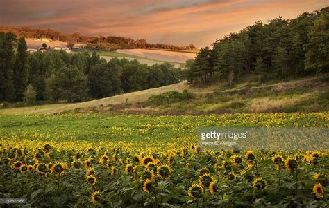 sunflower field sunrise over field of sunflowers stock photo getty images