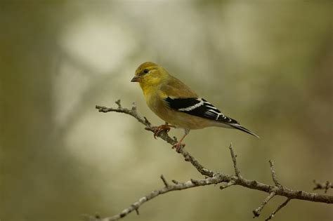 top 28 goldfinch winter american goldfinch winter