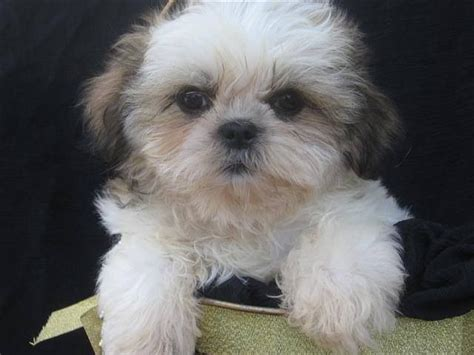 what to feed a shih tzu the stool shih tzu shih tzu city