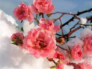 winter flowers winter flowers flowers nature background wallpapers on