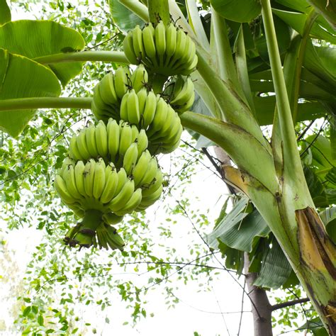 bananas on tree food facts bananas