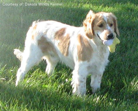 golden cocker retriever mn golden cocker retriever pictures 57wd35bdfi