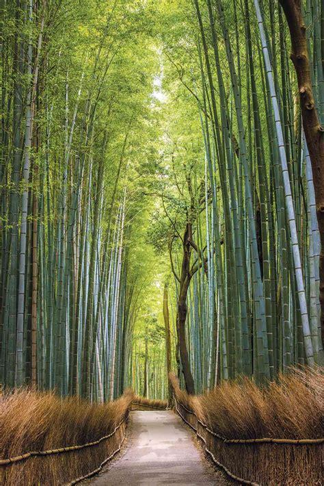 imagenes bambu japones jap 243 n bajo el embrujo del bosque de bamb 250