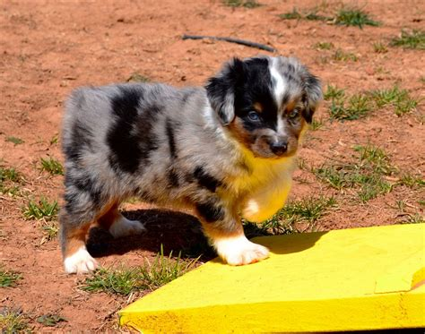 color country color country aussies miniature australian shepherd