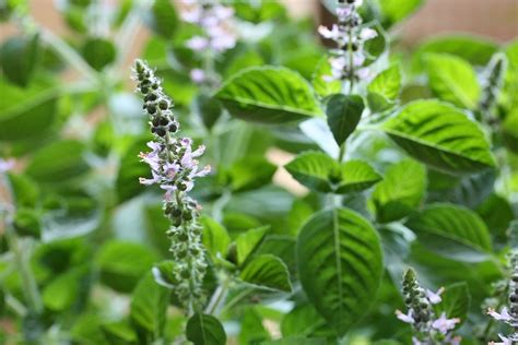 Tulsi Basil For by The Ultimate Herbal Traveling Companion Tulsi Aid