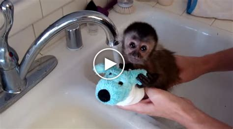 monkey in a bathtub baby monkey takes a bath underneath a kitchen faucet