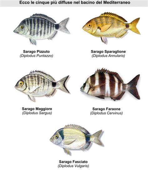 come cucinare il sarago pesci mar ligure alla scoperta sarago liguria