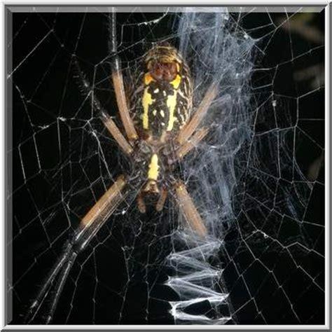 Garden Spider Washington State Photo 887 21 Yellow Garden Spider Argiope Aurantia On A