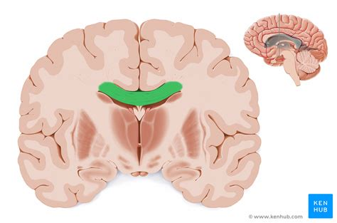 coronal section of body coronal sections of the brain anatomy kenhub
