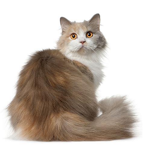 cat haircuts edmonton cat haircut