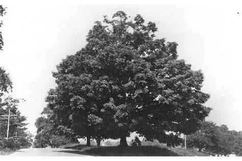 maple tree usda omeka ctl sugar maple profile