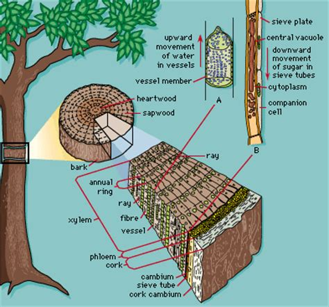 xylem carbohydrates what makes wood wood quora