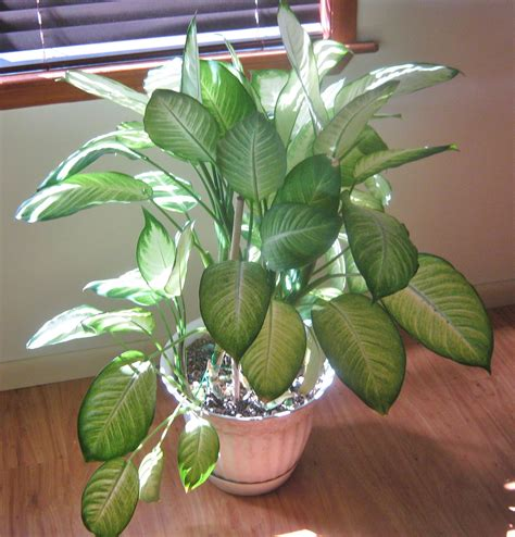 indoor plants for home dumb cane highly toxic house plant indoor jungle