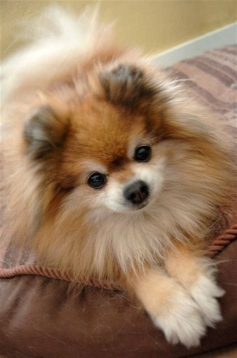 pomeranian coughing and 1000 images about dogs cats and other critters on