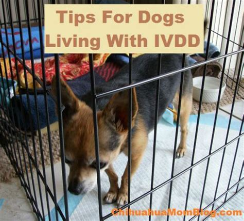 ivdd dogs 1000 images about arthritis in dogs in nokee s memory other mobility issues on