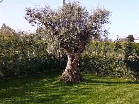 piante di ulivo da giardino ulivi secolari da giardino idee per la casa