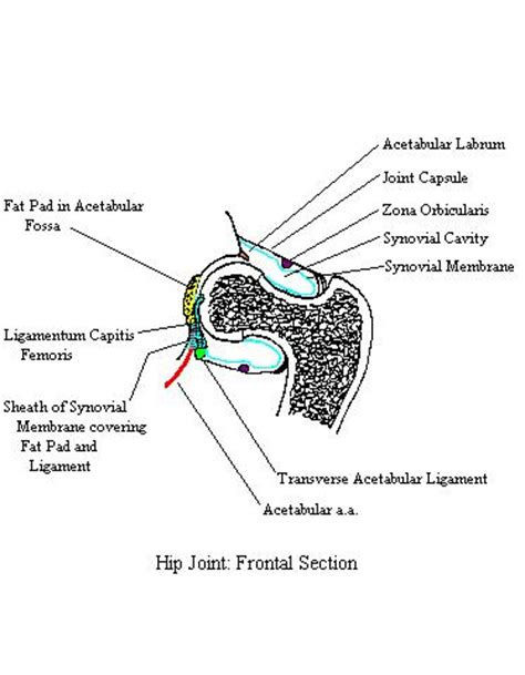 Frontal Section Of The Hip Joint by Hipjointfrontalcomplete
