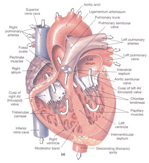 sectional anatomy of the heart funny pictures gallery human body organs heart the human